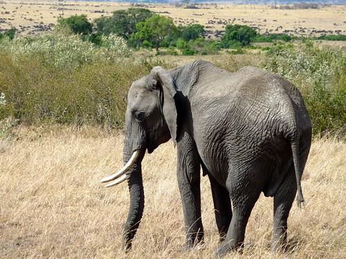 Elephant, Maasai Mara, Kenya