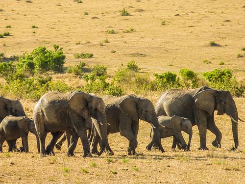 Elephants, Maasai Mara, Kenya