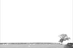 Horizontal Hedge (Fairy_Nuff (new website - piczology.com!)) Tags: tree monochrome field horizontal canon eos sheep minimal hedge 7d