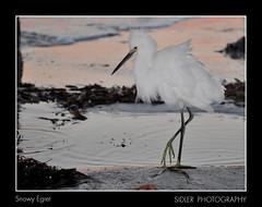 Snowy Egret (G_Sidler) Tags: ocean beach pier florida shrimp snowyegret redington sidler nikond90club nikond90group nikond90photography