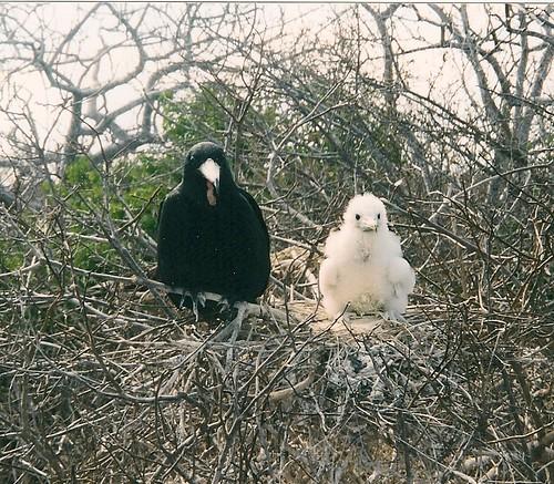Galapagos-Seymour Nord (8)