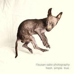 smalldog (smalldogs) Tags: smalldog smalldogs etsy shelterdogs rescuedogs thelittledoglaughed onephotoweeklycontest