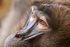 Baboon eyes (Tambako the Jaguar) Tags: face closeup zoo monkey switzerland eyes nikon close zurich explore baboon zürich primate snout gelada d300
