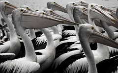 Evil Pelicans (andy_tyler) Tags: pelican nsw theentrance