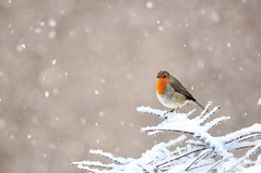 Robin redbreast with snow on its head (Flxzr) Tags: snow robin birds