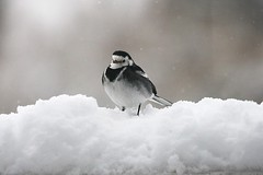 Pied Wagtail in the Snow (Mark Philpott) Tags: uk winter england snow cold bird canon garden is do wildlife gloucestershire feed pied 70300mm wagtail 1000d