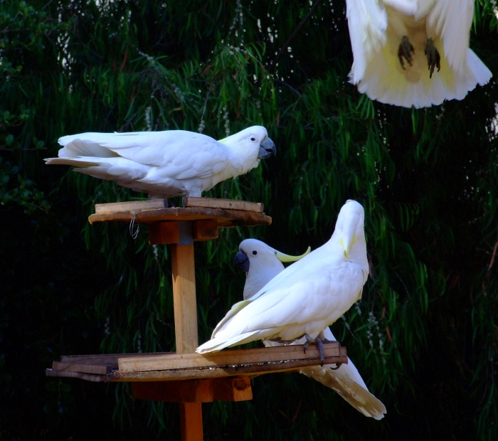 3 and a half cockatoos