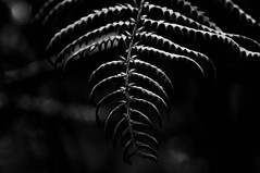 Fern of the Forest... (Chris H#) Tags: winter light bw fern forest blackwhite shadows bokeh northamptonshire dry fronds s3000 shadowlight sywellcountrypark nikond5000 fernoftheforest