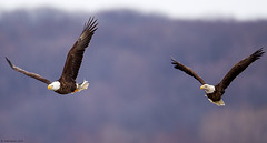 Pair of Adult Bald Eagles (Todd Ryburn) Tags: birds animals flickr wildlife baldeagle mississippiriver eagles 2010 baldeagles raptures lockdam14