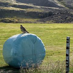 Flki  Breidal (Sig Holm) Tags: bird island iceland islandia fugl 2009 sland islande icelandic islanda ijsland islanti     flki slenskt        falcorusticolusislandicus