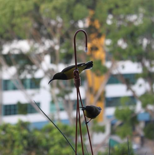 Sunbird 2
