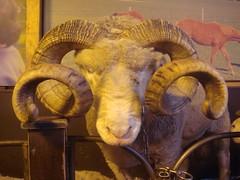 Whatcha looking at? (teemus) Tags: newzealand rotorua sheep horns curly nz northisland agrodome