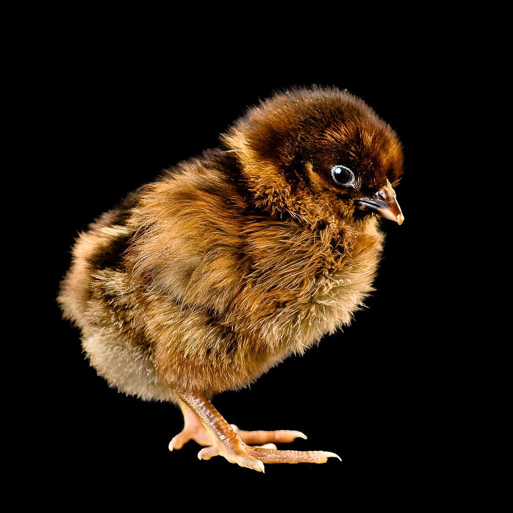 A fuzzy baby chick named Coca