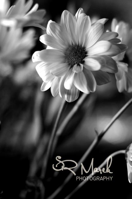 Natural Light Monochromatic Daisy