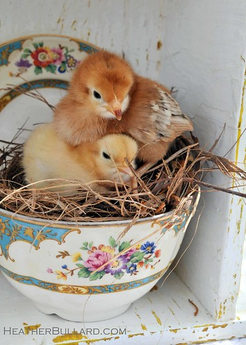 Baby Chicks / Heather Bullard
