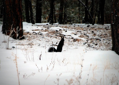 black squirrel?