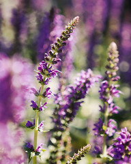 Floral Fever . . . (KimFearheiley) Tags: flowers dof purple bokeh