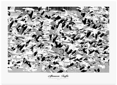 Traffic (Imapix) Tags: baiedufebvre snowgeese oieblanche oie goose bird oiseau ornithologie ornithology traffic crowd flock foule nature gaetanbourque animal