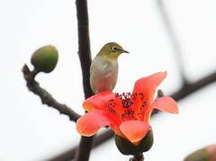 Japanese white-eye  (Melinda ^..^) Tags: red orange plant flower tree birdie branch mel trunk melinda macau  japanesewhiteeye ceiba   cottontree bombax bombaxceiba  chanmelmel  bird