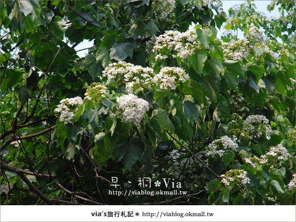 【2010桐花祭】桐花最新情報*彰化挑水古道油桐花7