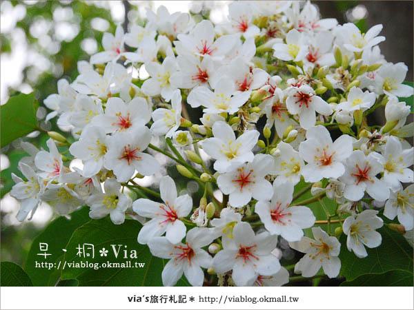 【2010桐花祭】桐花最新情報*彰化挑水古道油桐花4