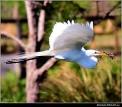 Stick Flying (ShacklefordPhotoArt) Tags: bird nature florida egret whiteegret avian greategret boyntonbeach ardeaalba vob animalkingdomelite avianexcellence wakodahatchewetands