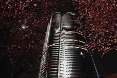 [フリー画像] [人工風景] [建造物/建築物] [ビルディング] [夜景] [桜/サクラ] [六本木ヒルズ] [日本風景] [東京]   [フリー素材]