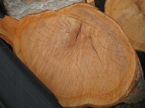Chinese elm log with checking