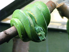 Green Tree Python (MSVG) Tags: family toronto ontario canada tree green animal animals america zoo order metro snake name south central class python region metropolitan genus australasia scientific viridis reptilia squamata viperidae boidae chondropython bothriechis schlegelii