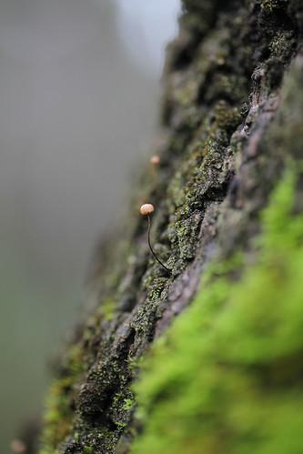 Horsehair fungus: Marasmius crinis-equi