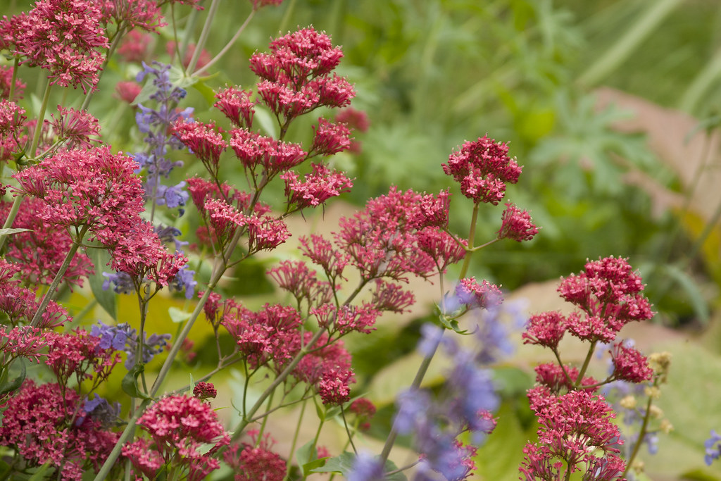 centranthus and nepeta  june 13 2011