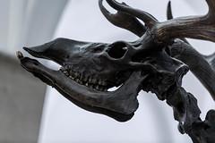 Paläontologisches Museum (MyMUCPics) Tags: münchen munich museum 2017 februar february paläontologischesmuseum dinosaurier dinosaur knochen skelett bones old prähistorisch paleontologic prehistoric architektur architecture indoor interior
