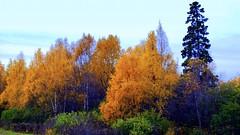 Alaska Anchorage Bold Signs Of Autumn 2009 (MarculescuEugenIancuD5200Alaska) Tags: alaska anchorage theperfectphotographer goldstaraward natureselegantshots saariysqualitypictures cedruseternum