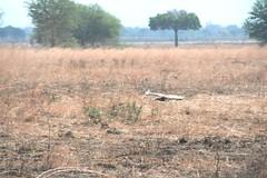 Martial Eagle attacking young Impala - 2 - Mikumi NP, Tanzania
