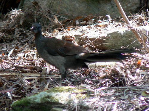 Juvenile male Superb Lyrebird