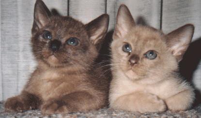 Brown and Chocolate Burmese babies