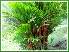 Cyrtostachys renda (Lipstick Palm, Red Sealing Wax Palm), with numerous suckers