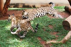 em ao (brenopassos) Tags: b braslia brasil df felino zoolgico breno distritofederal zo duetos brenopassos