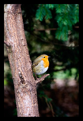 robin3 (M*I*K*E) Tags: nottingham uk red england tree bird mike robin photography breast wildlife sutton ashfield rufford nottinghamshire swanwick