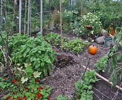pumpkin in the fall garden