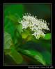 Florecillas Blancas (Santos M. R.) Tags: madrid white flores flower verde green garden martin flor jardin sigma blanca santos 18200 d80 santosmr