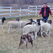 Sheep Herding with Clever Canines
