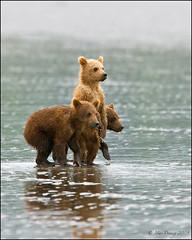 Three... (Mac Danzig Photography) Tags: ocean bear baby brown alaska cub wildlife coastal grizzly peninsula tnc11