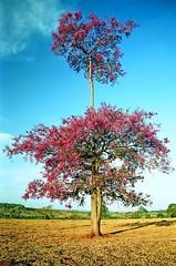 quaresmeira (Edison Zanatto) Tags: brazil naturaleza flores southamerica nature brasil nikon natureza natur paisaje paisagem rbol landschaft rvore paesaggi nikonn90s gois americadosul quaresmeira sdamerika centrooeste fujicolorprovalue200 filme35mm continentesulamericano edisonzanatto