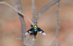 a most beautiful fly flew by..... (beeater) Tags: nature fly insects flies diptera flyinginsects aussiebush australiannature bibaringa australianflies stuartharrisphotography bibaringaproperty