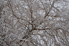 snow willow noodlefroggy (noodlefroggy) Tags: trees winter white snow snowy branches winterwhite snowybranches whitewinter noodlefroggy