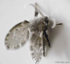 Kelembux polillae (AshesAndDiamonds) Tags: macro canon bug insect little moth paraguay bicho tamron70300 rebelxs mberu
