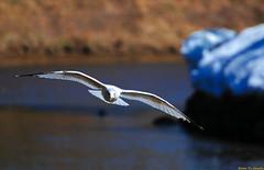 Frozen in Flight (20080417-150902-PJG) (DrgnMastr) Tags: canada birds geotagged gulls newbrunswick archives moncton cropped centennialpark blueribbonwinner vob interestingness371 i500 wingedwonders grouptags avianexcellence allrightsreserveddrgnmastrpjg diamondclassphotographer flickrdiamond eiap rawjpg miasbest redmatrix birdperfect explore20100119 geo:lat=46086972 geo:lon=64817442 pjgergelyallrightsreserved