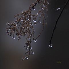 GOTAS DE MELANCOLA (Licy (Iris de Paz)) Tags: naturaleza gotas zamora tff1