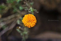 Bunga Di Marang (Hell62_Trbs) Tags: orange flower nature 35mm bokeh culture bunga oren terengganu marang f18g nikond5000 hell62 trbscrewz